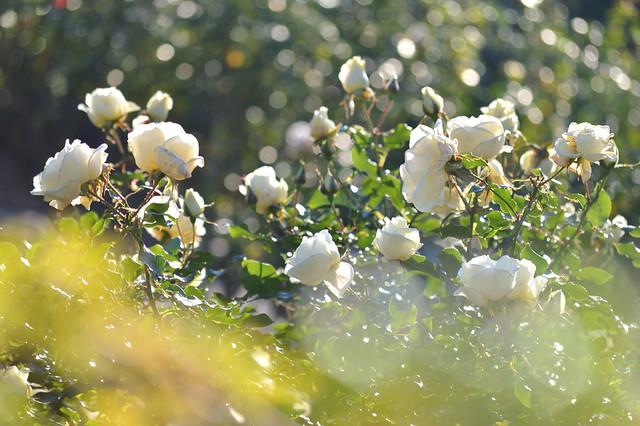 冬のバラ~クラスアクト