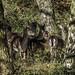 Cannock Chase Deer