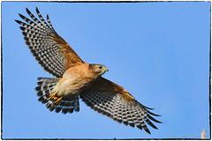 Red shouldered hawk takeoff [EXPLORE, Dec 10 2018, #52]
