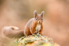 Red Squirrel - Tufts under development !