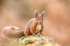 Red Squirrel - Tufts under development !