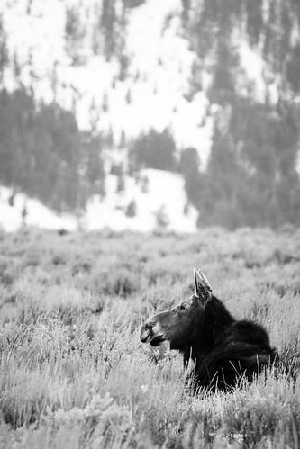 Moose near Kelly, Wyoming. March, 2018.