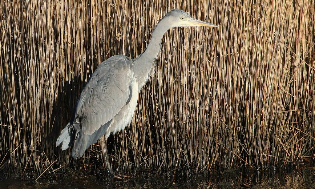 Grey Heron 170119 (4)