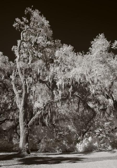 An oak in full, Pentax K-5, K,M Lens