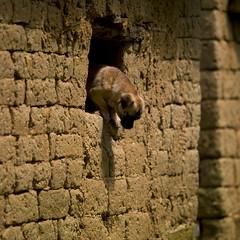 Dog Coming Out Of A Window, Yuanyang, Yunnan Province, China