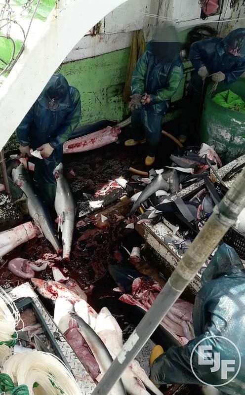 台灣延繩釣漁船非法捕抓鯊魚,割鰭棄身。 照片提供:環境正義基金會(Environmental Justice Foundation, EJF)