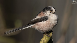 Long Tailed Tit | by Mick Erwin