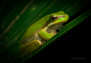Eastern Dwarf Tree Frog | by mudge.stephen