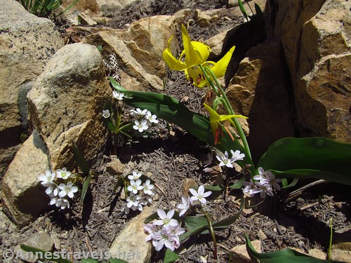 Glacier Lilies and Laceleaf Spring Beauty flowers along the Bald Mountain Trail in the Uinta Mountains of Utah