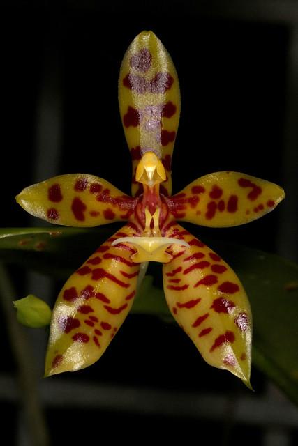 Phalaenopsis cornu-cervi 2019-01-14 01, Canon EOS 60D, Canon EF 100mm f/2.8L Macro IS USM