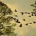 canada geese, burton mere