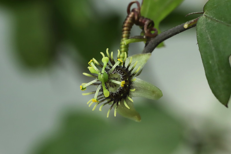 Passiflora suberosa Linn. クロミノトケイソウ