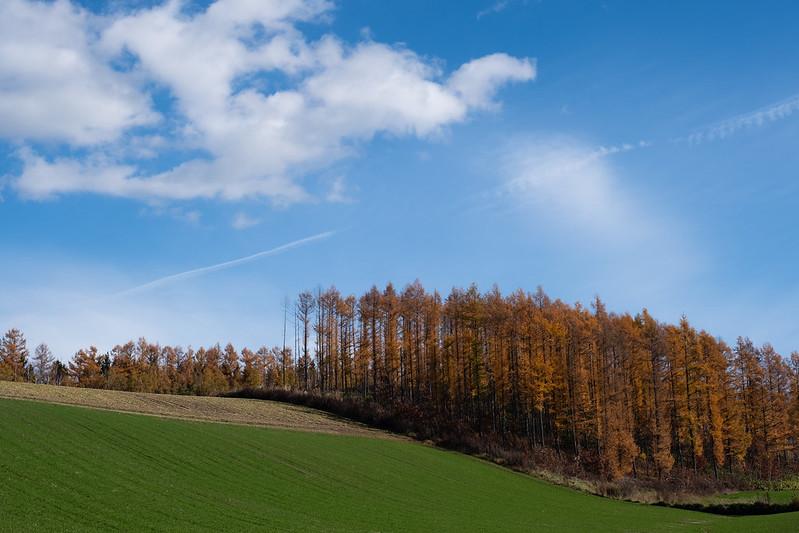 美瑛の畑と紅葉したカラマツ林と青空