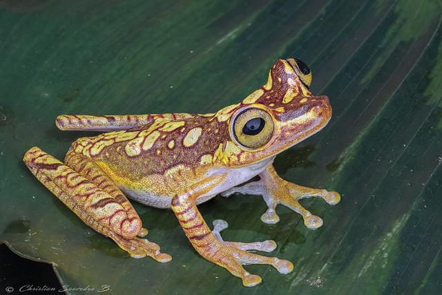 Hypsiboas picturatus /  Chachi Tree Frog/ Rana chachi