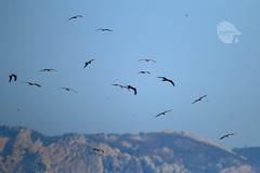 Black kite migration