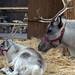 Reindeer    PB212052sm