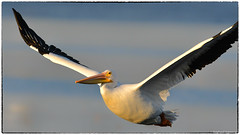 American Pelican sailing by at sunrise