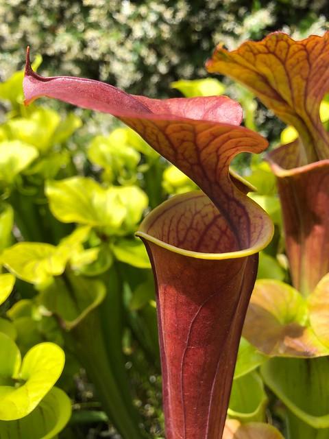 Sarracenia flava var atropurpurea 'FRT 1-1' x atropurpurea (Phil Reyter's clone)