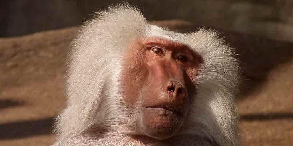 singe-nu-théorie-chez-les-humains