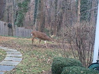 deer visitor, photo 3