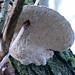 Mazegill bracket growing round twig