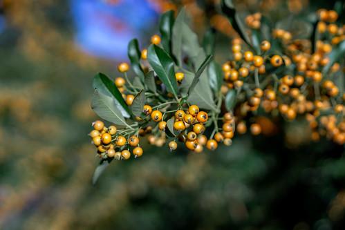 Bokeh berries :-)