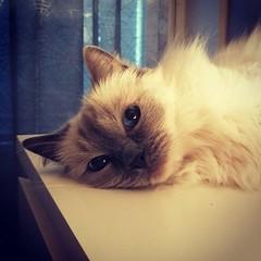 Lyra vilar efter gårdagens hårda uppesittarkväll. #kattvakt #GodJul