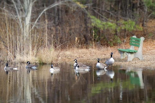 New Years Day Geese