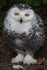 Snowy owl @ Artis 08-04-2018