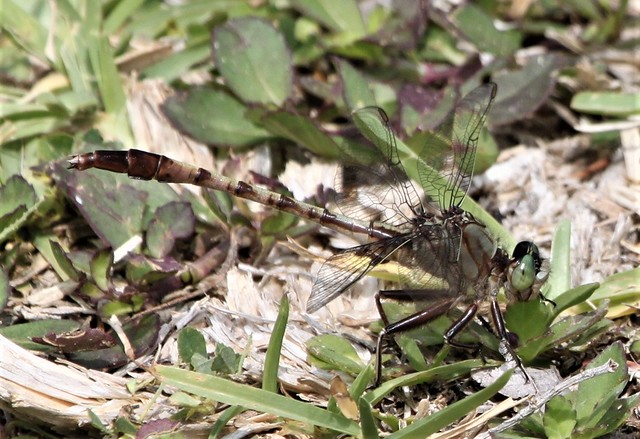 Gray-green Clubtail (Arigomphus pallidus) 04-24-2010 Moorehead Park, Marion Co. FL 1