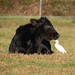 Cattle Egret with cattle