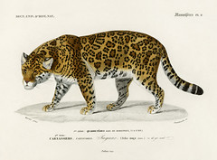 Jaguar (Panthera Onca) illustrated by Charles Dessalines D' Orbigny (1806-1876). Digitally enhanced from our own 1892 edition of Dictionnaire Universel D'histoire Naturelle.