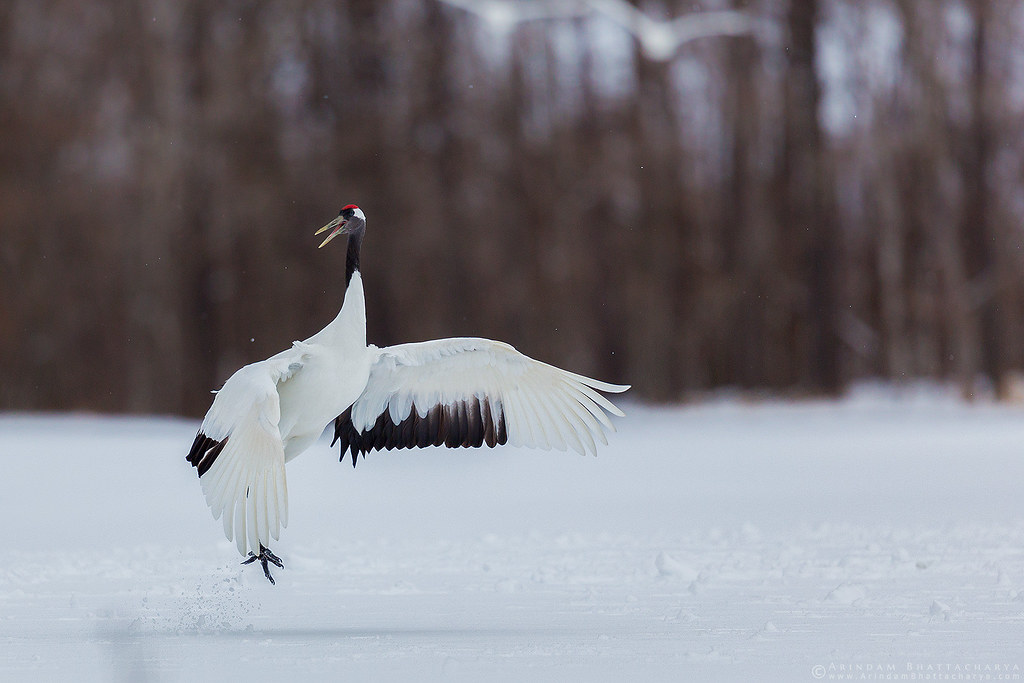 Endangered Red Crowned Crane in northern Japan.