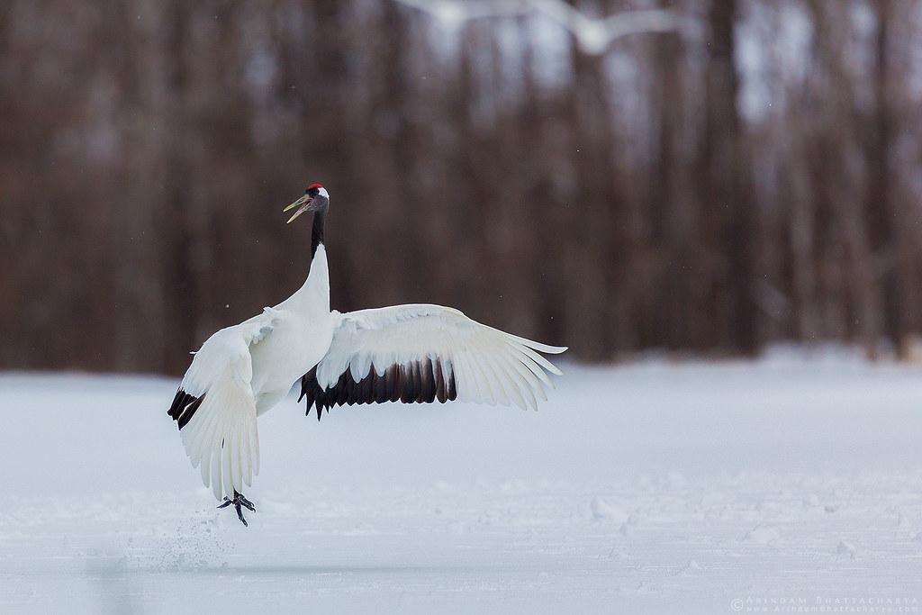 Endangered Red Crowned Crane in northern Japan.