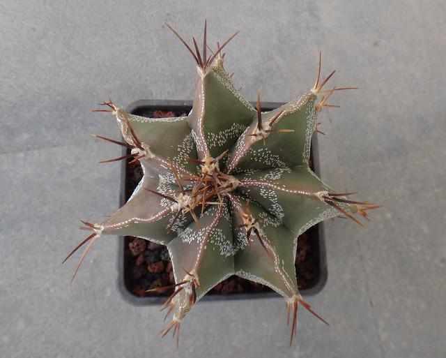 Astrophytum ornatum, Sony DSC-TX20