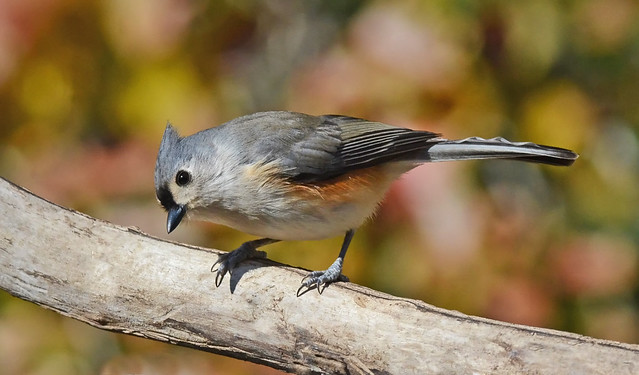 Titmouse, Nikon D800, AF-S Nikkor 300mm f/4D IF-ED