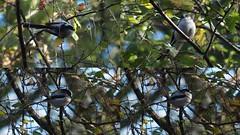 HolderLong-tailed Tit