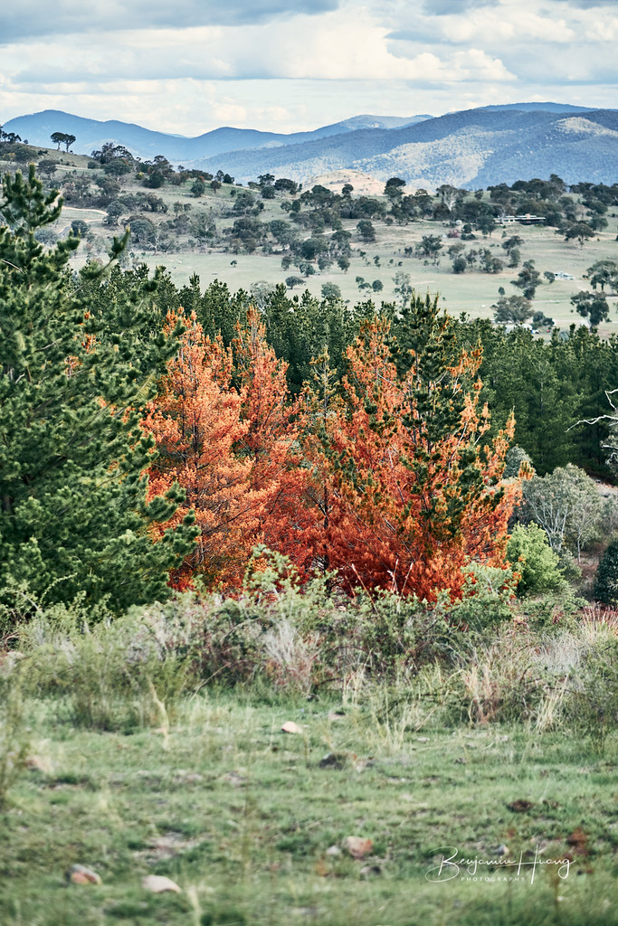 Red Trees On Narrabundah Hills