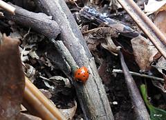 7 Spot Ladybird - Coccinella septempunctata. U.K. native species.