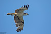 Osprey, Pandion haliaetus by Kevin B Agar
