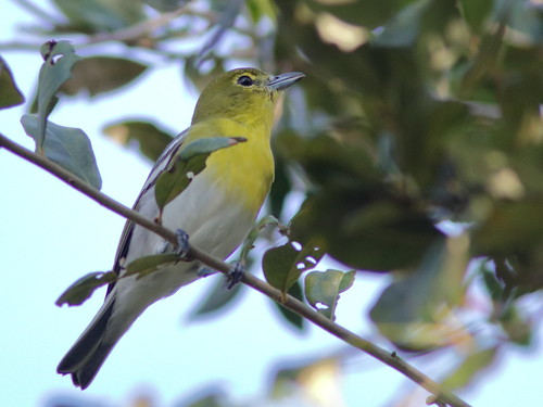 Yellow-throated Vireo 03-20181123