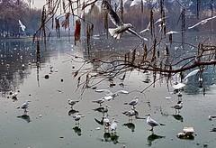 Seagulls on the frozen lake