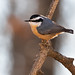 Red-breasted Nuthatch (Sitta canadensis), Williamson County, Tennessee by kmalone98