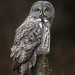 Great Gray Owl by Turk Images