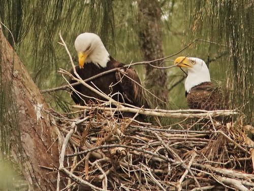 Bald Eagle 6172-20190125