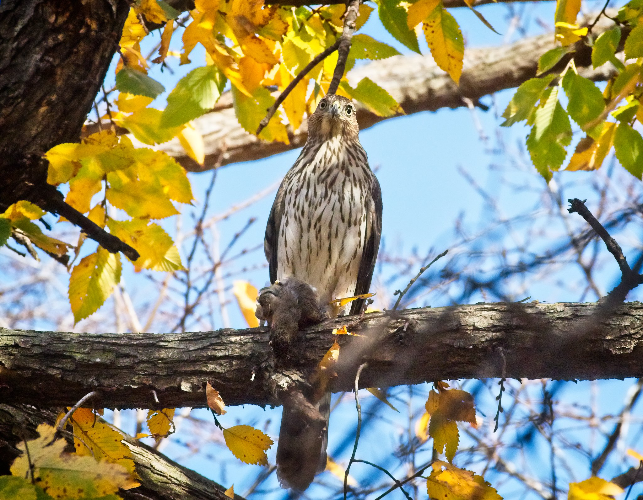 Cooper's hawk with a robin in Tompkins Square