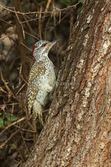 Nubian Woodpecker - Tsavo east - Kenya 2018 CD5A3061