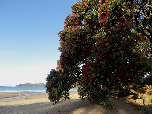 Pohutukawa Trees, Cooper's Beach (Explore?!?)