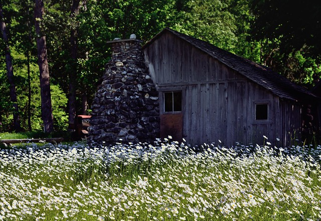 In the Land of the Daisies (North Cascades National Park Service Complex.