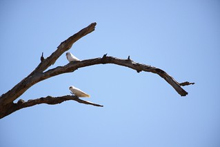 Eastern corellas | by Ecology for the Masses